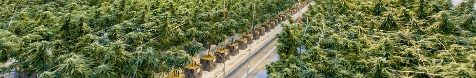 The Green Rush: Cannabis Ignites MBA Interest